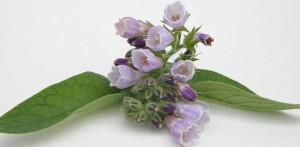 Comfrey flowering